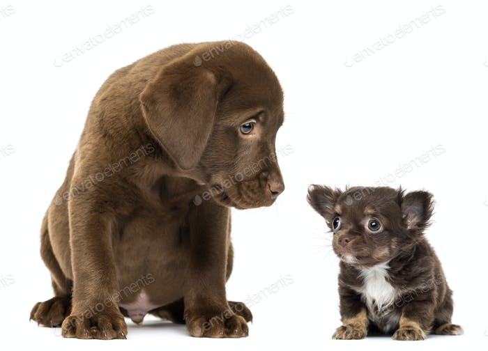 Labrador Retriever Puppy sitting and looking at a Chihuahua puppy sitting and looking away
