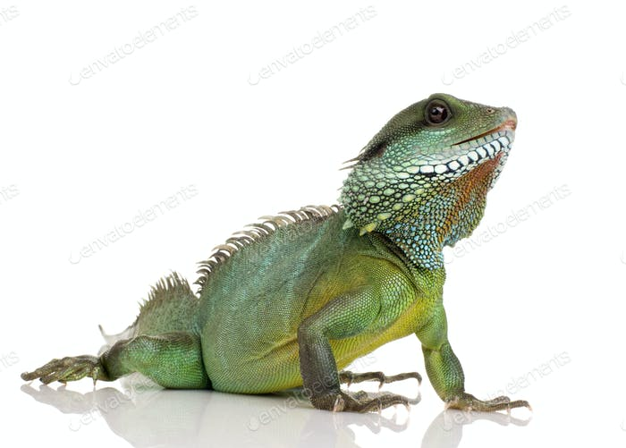 Indian Water Dragon - Physignathus cocincinus