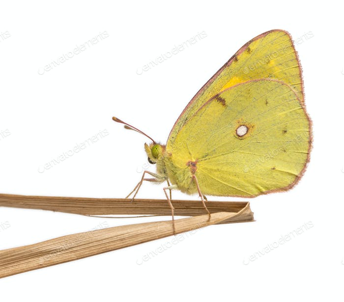 Side view of a Clouded Sulphur landed on a thin branch, Colias philodice, isolated on white