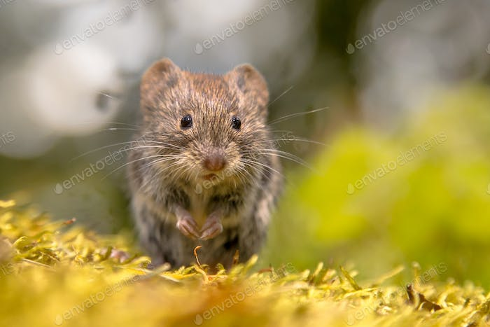 Frontal view of cute Bank vole