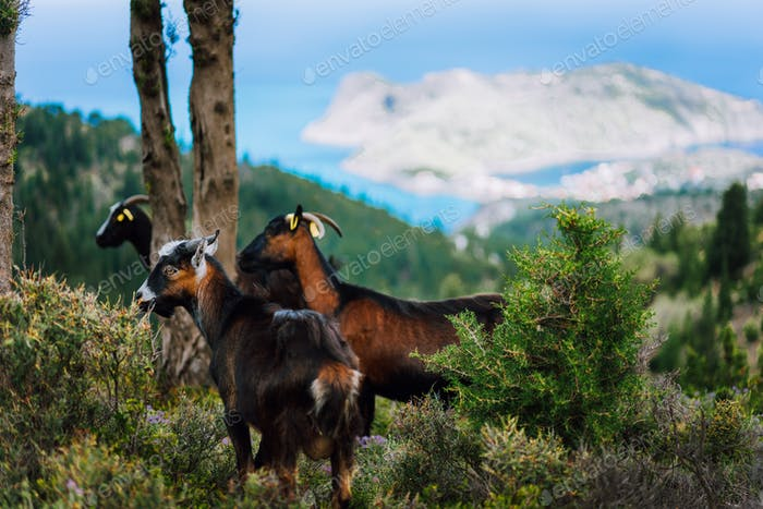 Group of goats standing in the shadow of trees against amazing mountainous landscape in Greece