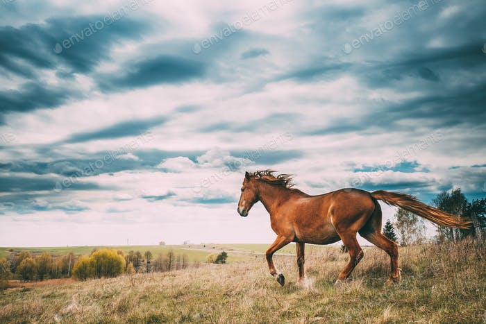 Red Horse In Motion In Spring Meadow Of Belarus.