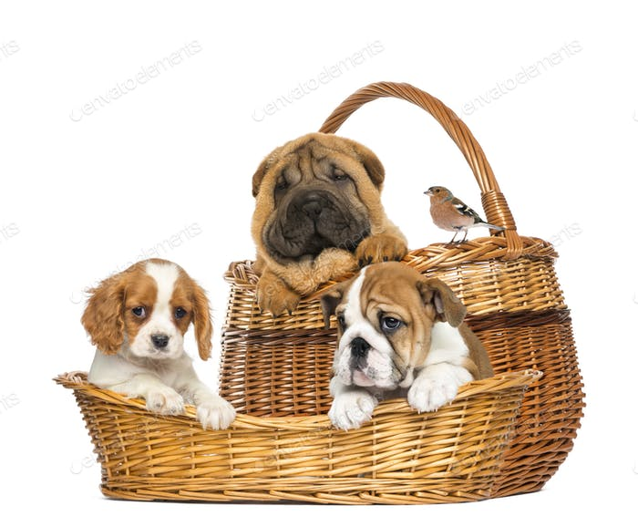 Sharpei, Cavalier King Charles, English Bulldog puppies and Common Chaffinch in wicker baskets