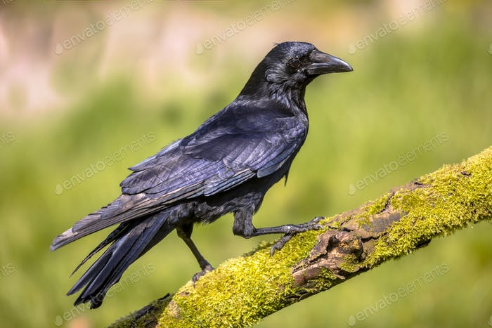 Black Carrion Crow on mossy log
