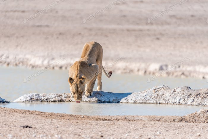 Female African Lion, Panthera leo, drinking water at a waterhole