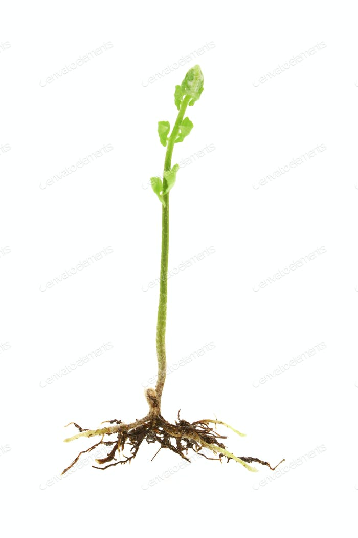 Young shoot of a fern plant