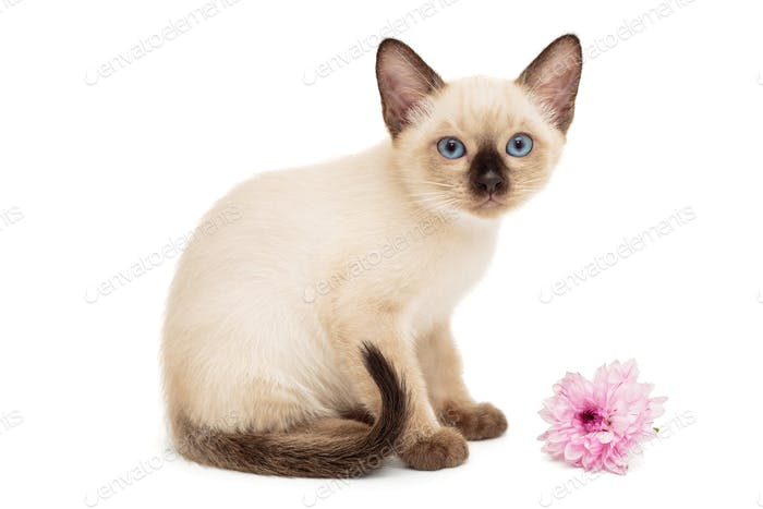 Small Siamese kitten and pink flower