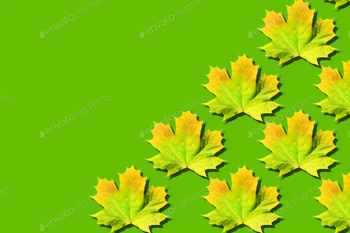 Golden autumn concept. Sunny day, warm weather. Maple leaf on green background with copy space. Top