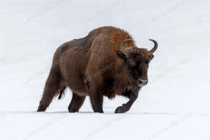 European bison (Bison bonasus) in natural habitat