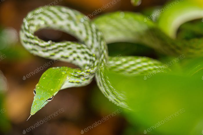 Green Vine Snake, Long-nosed Whip Snake, Sinharaja National Park Rain Forest, Sri Lanka