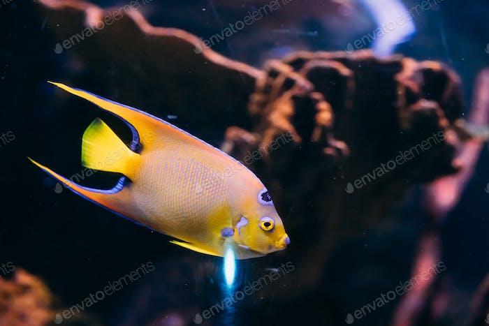Queen Angelfish Holacanthus Ciliaris Swimming In Aquarium