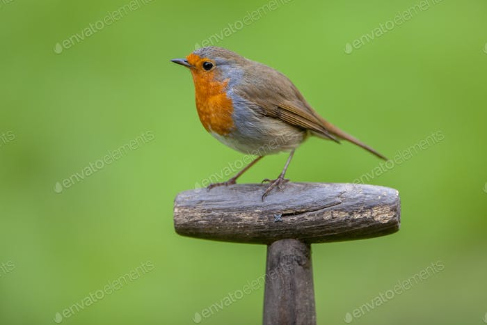 Robin perched on a shovel