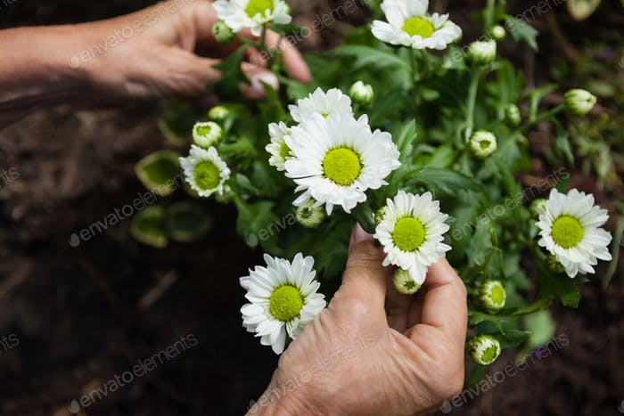 Cropped hands of senior woman touching white flowers