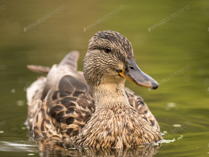 Wild duck at a pond