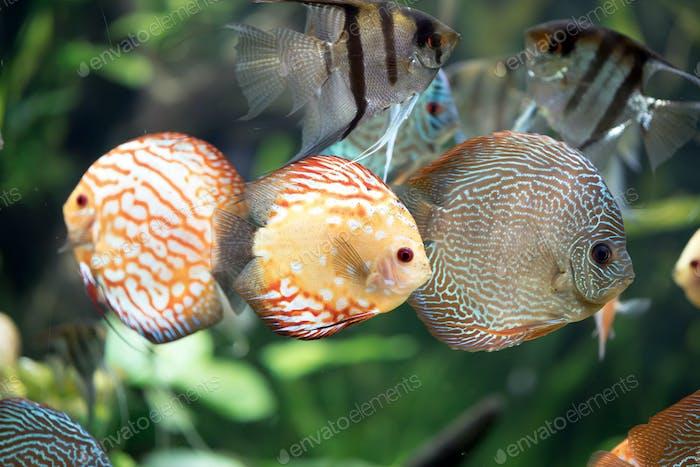 Pescado de disco de sangre paloma -Shyphysodon aequifasciatus