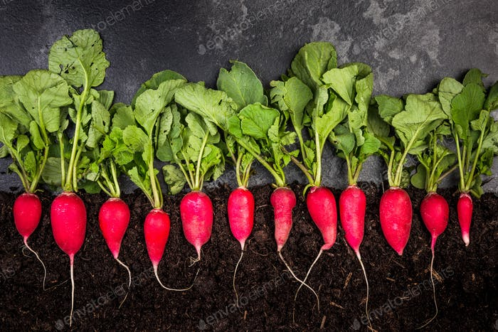 Radish Growing in Soil, Creative Gardening Concept