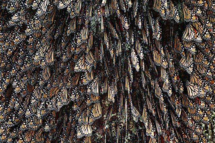 Monarch butterflies, Danaus plexippus, Michoacan, Mexico