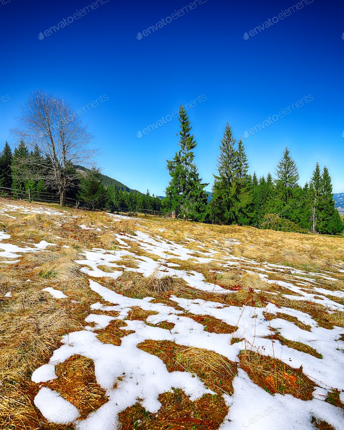 Spring mountain landscape with snow and fir forest