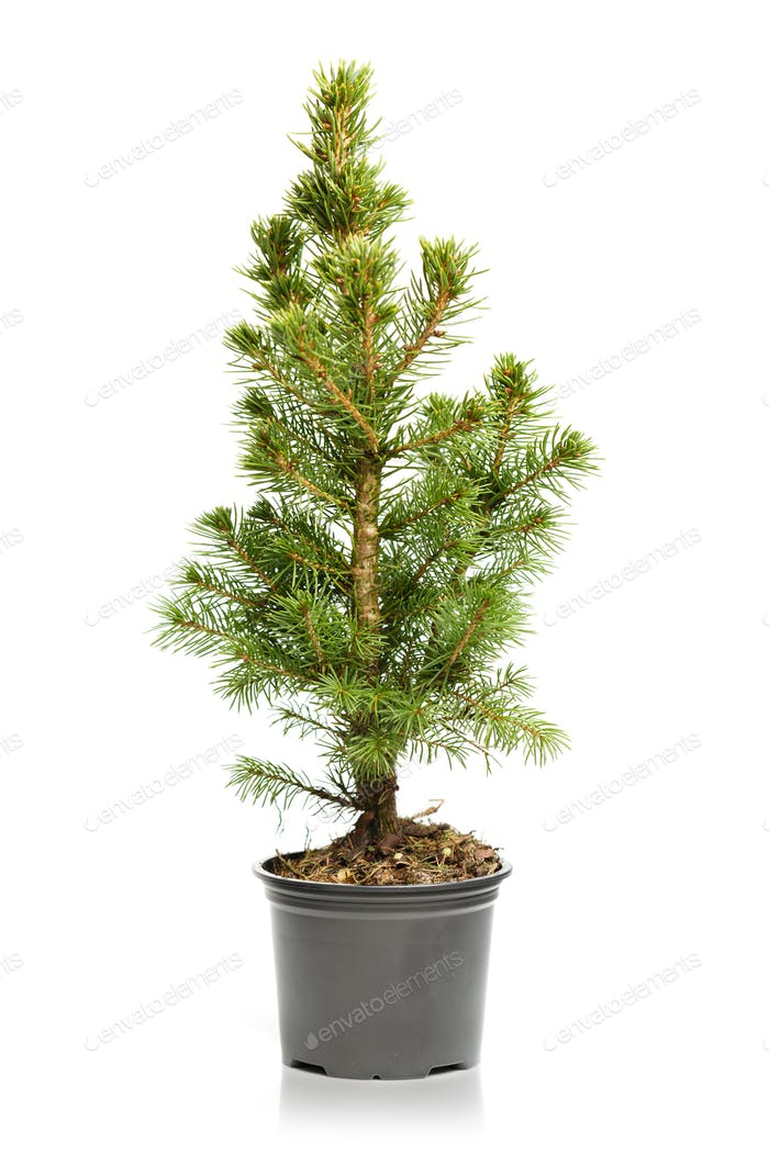 Small, real undecorated bare Christmas tree in a pot isolated on