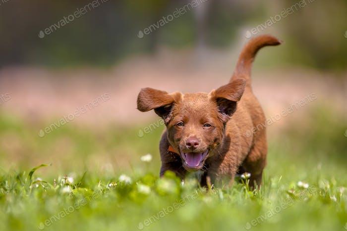 Little puppy running in the garden