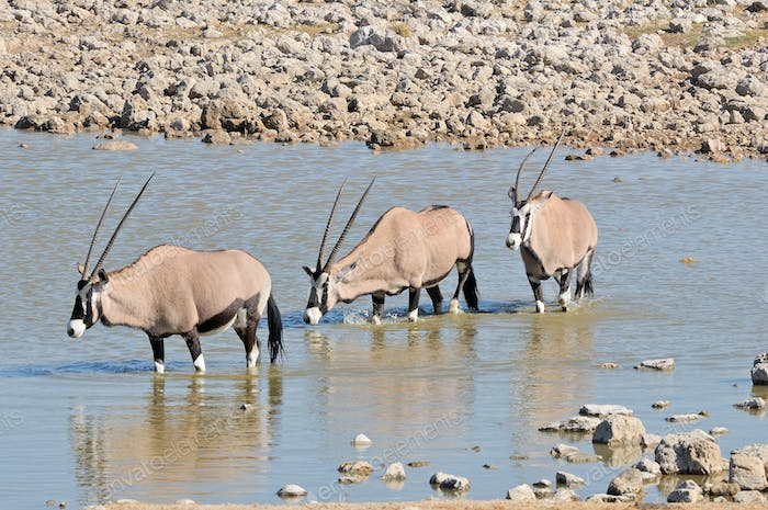 Oryx in water
