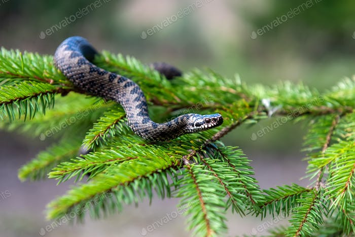 Vipera berus poisonous viper in summer on branch the of tree