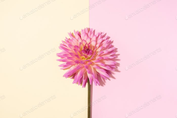 Pink dahlia flower on pastel yellow background. Top view. Flat lay. Copy space. Creative minimalism