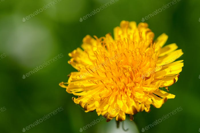 Flower of dandelion