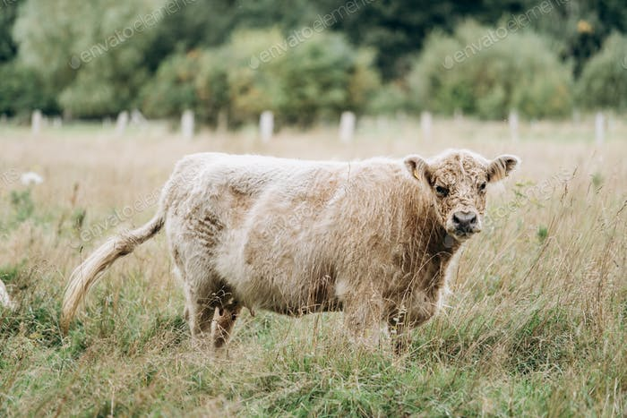 Cow in the pasture. Hairy cow in a green field