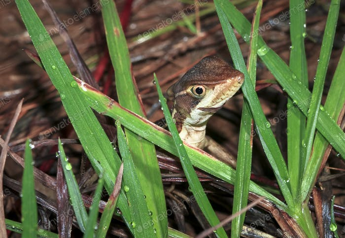 Striped Basilisk Among Grass in Belize