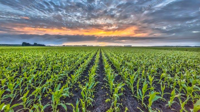 Corn field under setting sun