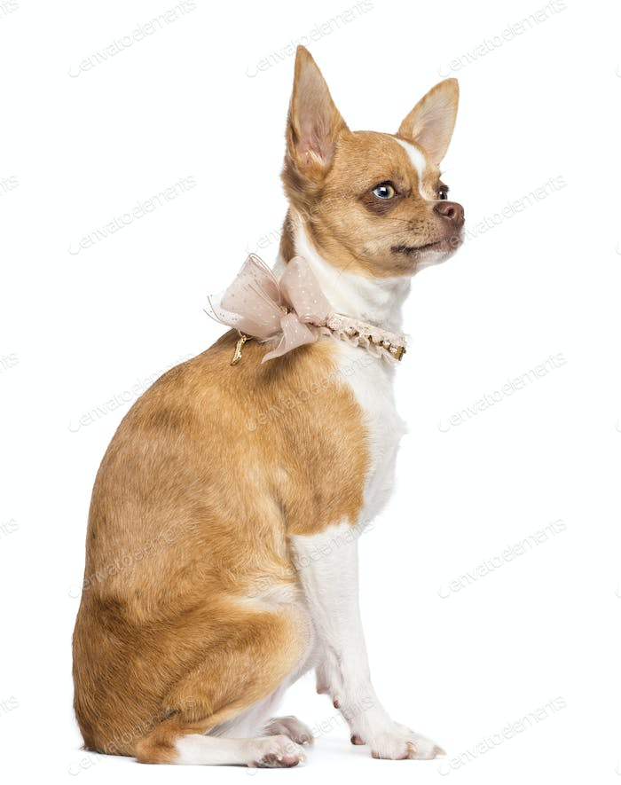 Chihuahua, 7 months old, wearing lace collar, sitting and looking away against white background