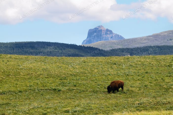 Bison Bull in Waterton lakes