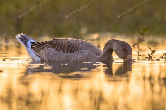 Greylag goose walking in grass in orange morning light