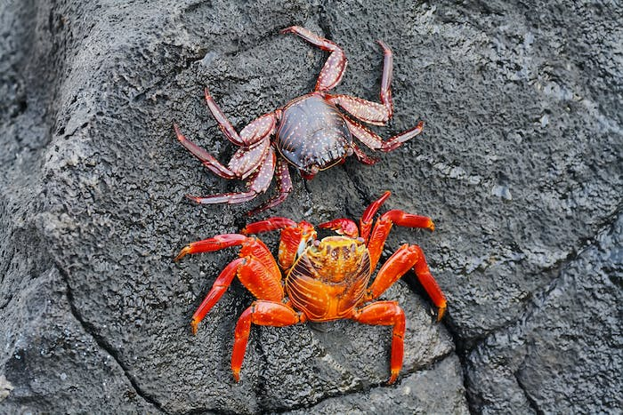Galapagos red rock crabs