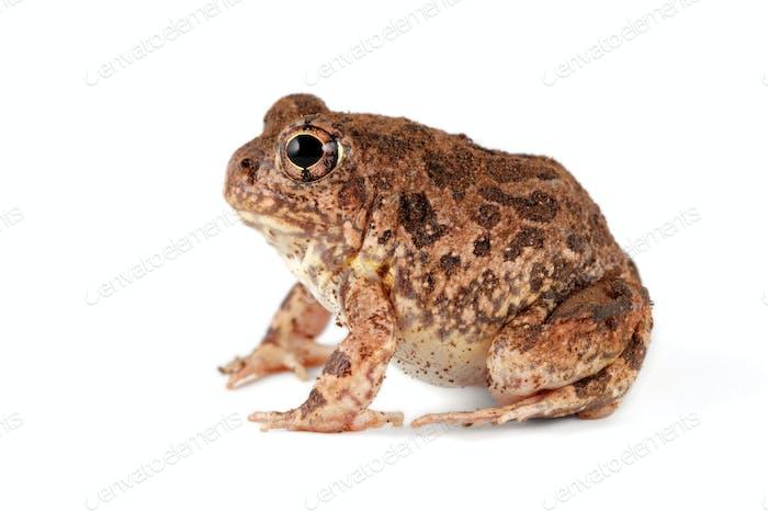 Sand frog on white