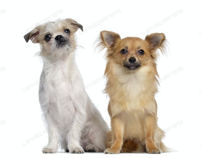 Chihuahua and Crossbreed, 8 months old, sitting next to each other, isolated on white