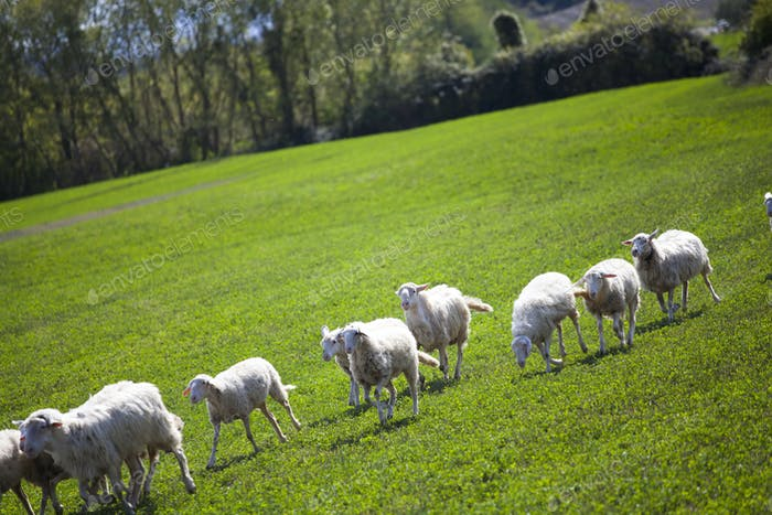 Sheep in spring field