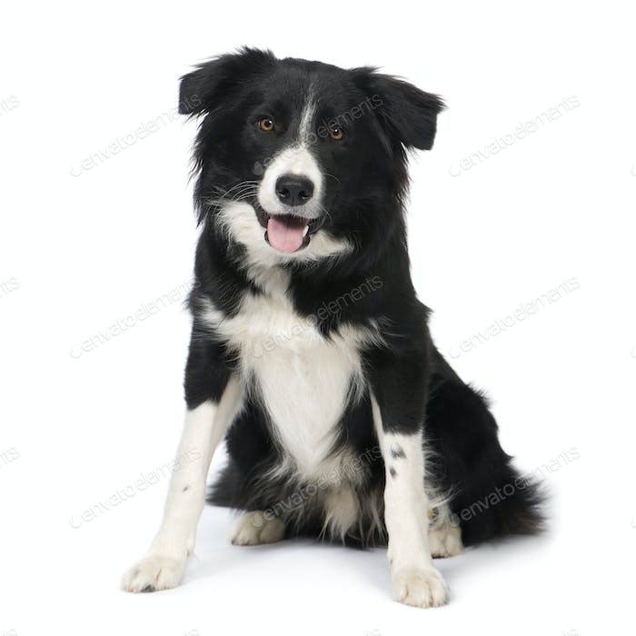Border Collie (9 months)