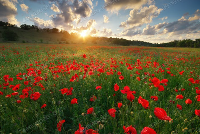 Poppy meadow landscape