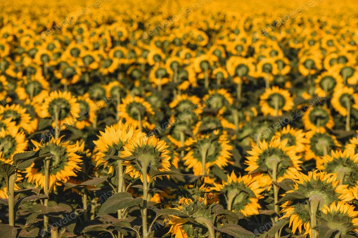 Large endless blooming sunflower field in summer