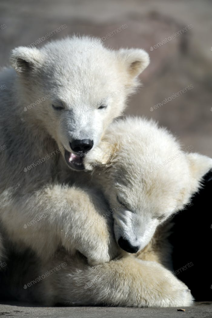 Two little polar bear cubs playing