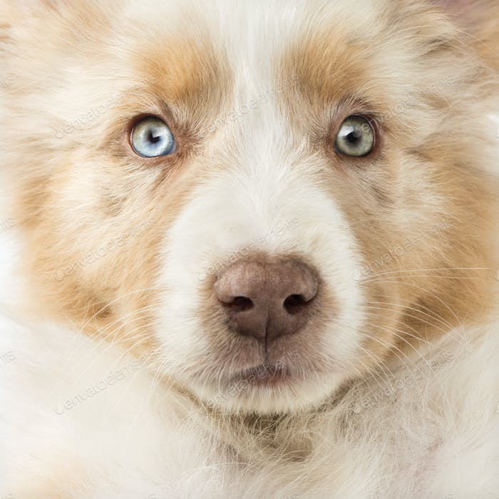 Close-up of an Australian Shepherd puppy, 2 months old, full frame