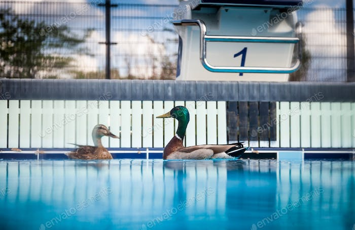 Wild Ducks in a Pool.. yes... What can I said !?