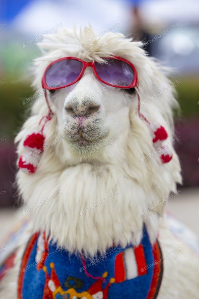 White lama wearing sunglass and a colored scarf, Peru