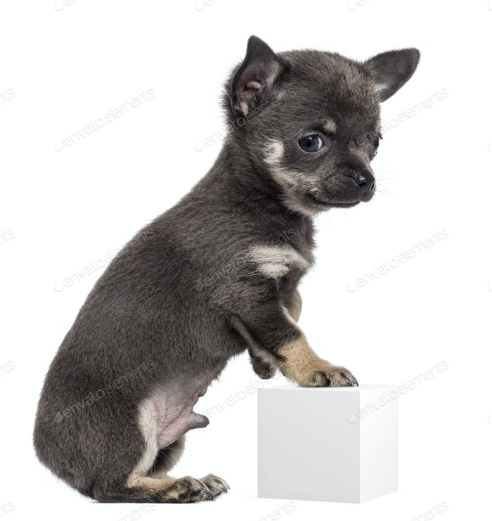 Chihuahua puppy, 7 weeks old, standing on hind legs and leaning on white cube