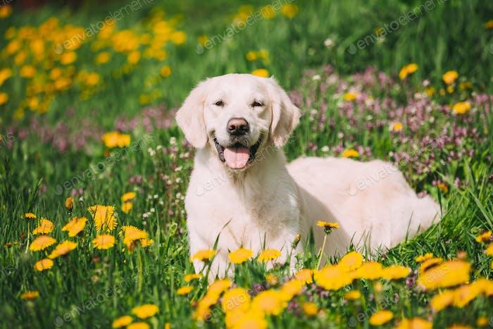 Lustige junge glückliche Labrador Retriever sitzend im Gras und in gelben Löwenzahn Outdoor. Frühling