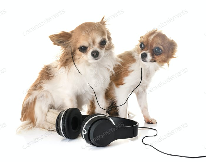 chihuahuas and music