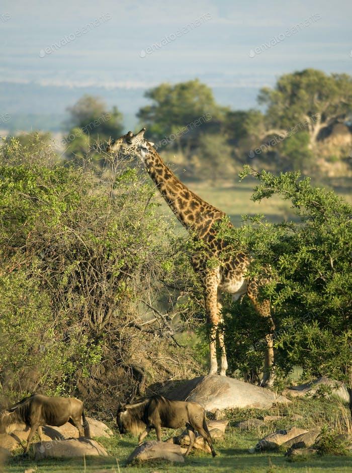 Wildebeest and giraffe in the Serengeti, Tanzania, Africa