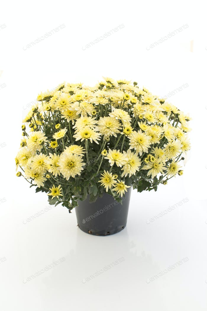 Crisantemo Amarillo en Maceta Aislada en Blanco